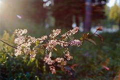 Catching the Last Rays (Petri Karvonen) Tags: flowers plants sunset sunrays flare evening summer finland suomi film analog kodak portra160 expired olympus om2n zuiko light 50mm 5014 f14 kuopio nature grain branches