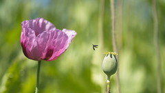 Air Strike (Stefan Zwi.) Tags: poppies mohn insekt insect iif airstrike luftangriff mohnfeld laupheim ulm lila violett