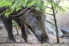D82_0922 (immersion-nature) Tags: animaux arbre animal sauvage malbrecq rapace nature etang oiseaux oiseau buse birds bois sanglier photographe goupil fox