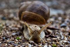 Weinbergschnecke / escargot (Chridage) Tags: escargot weinbergschnecke schalenweichtiere weichtiere schnecke snail lophotrochozoen