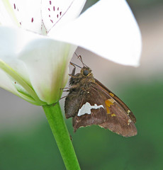in memory of Steve Covey (od0man) (Vicki's Nature) Tags: silverspottedskipper big butterfly brown spots eyelinerlily flower blossom yard georgia vickisnature canon s5 5129 returnnc ngc npc returnnpc