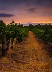 Vineyards @ Barossa valley
