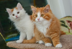 Brother and Sister (jlucierphoto) Tags: kittens cats kitties cute orangewhitenewkittens6232019