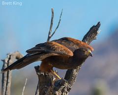 Harris's Hawk (1 of 1) (dbking2162) Tags: birds bird beautiful beauty birdofprey nature nationalgeographic desert arizona wildlife harris hawk eagle explore eyes