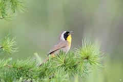 ''Le bal masqué!'' Paruline masquée-Common yellowthroat (pascaleforest) Tags: oiseau bird animal passion nikon nature wild wildlife faune québec canada