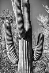 Approachable (Thomas Hawk) Tags: america arizona desertbotanicalgarden papagopark saguaro usa unitedstates unitedstatesofamerica bw cacti cactus desert phoenix fav10