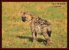 SPOTTED HYAENA (Crocuta crocuta)......MASAI MARA......SEPT,2018. (M Z Malik) Tags: nikon d3x 200400mm14afs kenya africa safari wildlife masaimara keekoroklodge exoticafricanwildlife ngc