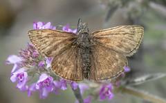 Busalepke / Hesperiidae (Torok_Bea) Tags: busalepke lepidoptera lepke wonderful wild wildlife nikon nikond7200 natur nature nationalpark sigma150mm wildanimal amazing