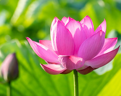 Shine in the morning sun (shinichiro*) Tags: 20190618dsc1594 2019 crazyshin nikon1v3 v3 1nikkorvr70300mmf4556 june summer flower macro lotus ハス gyoda saitama japan jp 48113728551 5315137 201906gettyuploadesp