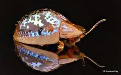 Tortoise Beetle, Cassidinae (Ecuador Megadiverso) Tags: andreaskay beetle cassidinae coleoptera ecuador focusstack gold id593 tortoisebeetle