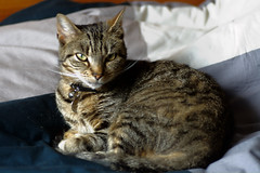 Polleh (outersquid) Tags: cat tabby polly polleh thejordancats eyes regard bed