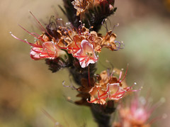 Echium flavum (Wild Chroma) Tags: echium flavum echiumflavum boraginales spain flora sierranevada