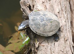 Juvenile Musk Turtle, Central Bucks County, PA, June 2019 (sstaedtler) Tags: stinkpot musk turtle wildlife outdoors reptiles outside herping conservation buckscountypa animal
