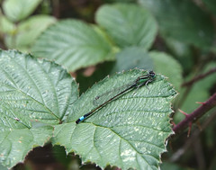 Blue Tailed damselfly (hedgehoggarden1) Tags: bluetaileddamselfly odonata damselfly insect creature nature sonycybershot leaf sony fairburnings yorkshire uk rspb lovenature macro