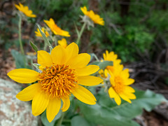 looking at a mules ear blosssom (maryannenelson) Tags: colorado durango june wildflowers mulesears yellow blossoms landscape flowers