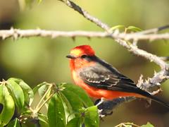 Príncipe (Alexandre Marino) Tags: pyrocephalusrubinus príncipe aves birds pássaros