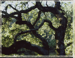 favorite tree (lawatt) Tags: oak tree branches twisty film fuji fp100c crowngraphic