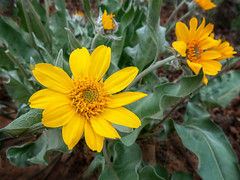 mules ear wildflower beauty (maryannenelson) Tags: colorado durango wildflower blossoms flower mulesears yellow
