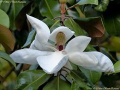 L' élégance naturelle du magnolia (Céline Bizot-Zanatta Photographie) Tags: fleur feuilles feuillage arbre magnolia pétales blanc white coeur pistilles macro closeup focus printemps soirée extérieur lumière outside evening foliage flower spring vert green végétaux verdure célinebizotzanatta