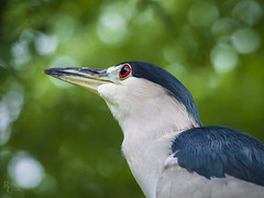 Heron in Profile (RobertCross1 (off and on)) Tags: 75300mmf4867mzuiko blackcrownednightheron districtofcolumbia em5 nationalzoo nycticoraxnycticorax omd olympus smithsonian smithsoniannationalzoologicalpark washingtondc bird bokeh heron portrait zoo