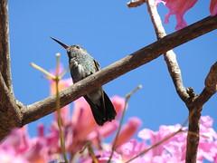 Beija-flor-de-garganta-verde (Alexandre Marino) Tags: beijaflordegargantaverde amaziliafimbriata pássaros birds aves beijaflor