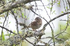 Lincoln's Sparrow (FluvannaCountyBirder754) Tags: cook minnesota stlouiscounty sparrow bog lincolnssparrow boreal birdwatching bird birding birder birds animal creature nature outdoor outdoors outside nikon nikond500