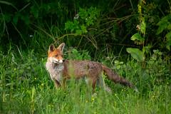 Red fox (Susanne Leyh) Tags: fox redfox renard renardroux rotfuchs fuchs mammal animal wildlife britishwildlife nature natur naturephotography fauna vulpesvulpes vulpes nikon nikkor 300mm outside outdoors
