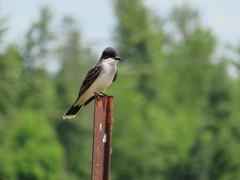 Eastern kingbird (yooperann) Tags: michigan upper peninsula kingbird fence post