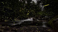 Firefly Nights (Jeff Rowton) Tags: photinuscarolinus fireflies firefly summernights smokies greatsmokymountains gsmnp cascade woodlands glow bioluminescence bioluminescent tennessee tn