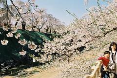 Good background (しまむー) Tags: pentax mz3 fa 43mm f19 limited kodak gold 200 弘前城 桜祭り