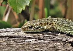 Common Lizard      (Zootoca vivipara) (nick.linda) Tags: commonlizard zootocavivipara reptiles lizards basking boardwalk wildandfree foulshaw cumbria canon7dmkii canon100400mkll