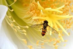 Flies hoverfly (luporosso) Tags: natura nature naturaleza naturalmente nikon nikonitalia nikond500 macro closeup insect insetto fiori flowers flor flores flowerotica imdifferent abigfave cof072andfa cof072dmnq cof072chri