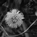 Alpine Flower
