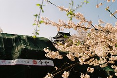 Castle behind cherry blossoms (しまむー) Tags: pentax mz3 fa 43mm f19 limited kodak gold 200 弘前城 桜祭り