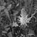 Alpine Flower, Wengen