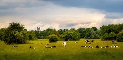 A field with cows (ainz1607) Tags: field essex cows landscape dedham countryside outside nature green tree summer uk new sky light church grass trees natur olympus m43 happy