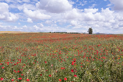 Nature's poetry (Irina1010) Tags: fiels landscape poppies red green wildflowers sky blue clouds beautiful poetic nature rifmountains morocco 2019 canon outstandingromanianphotographers coth5