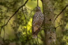 Spottet nutcracker (hardy-gjK) Tags: bird vogel oiseau schwarzwald black forest tannenhäher hardy wildlife animal