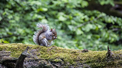 Grey Squirrel (Rich Jacques) Tags: greysquirrel sciuruscarolinensis rivelinvalley sheffield june 2019 wildlife nature squirrel