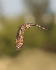 Burrowing Owlet in Flight (just4memike) Tags: animal bird blurredbackground burrowing cute eye feather nature owl owlet predator raptor talon wildlife wing