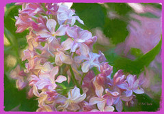 An unlikely lilac (N.Clark) Tags: anunlikelylilac impressionistic impressionism pinklilac flowers flowersasart floralart floralphotography manitobaflowers pinkflowers singlebloom hss happysliderssunday postprocessing topazstudio