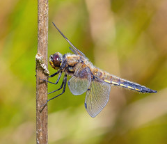 Four-spotted Chaser. (pecky2013) Tags: fourspottedchaser libellulaquadrimaculata ukdragonflies cheshire britishdragonflies