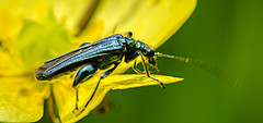 Swollen-thighed Beetle (male) (ianbartlett) Tags: outdoor 365 macro closeup flowers bugs butterflies colour movement