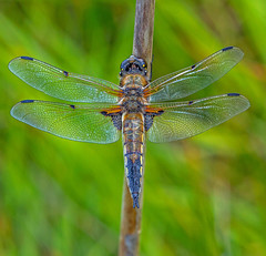 Four-spotted Chaser. (pecky2013) Tags: fourspottedchaser libellulaquadrimaculata dragonfliesuk insects