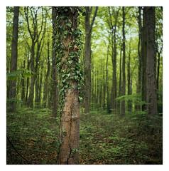 FILM - Wood (fishyfish_arcade) Tags: 6x6 analogphotography e6 filmphotography filmisnotdead istillshootfilm provia100f slidefilm tlr transparency twinlensreflex yashicamat124gfujifilm analogcamera film mediumformat woodland forest trees whitwellwoods