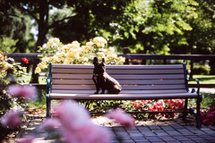 Rico in the washington park garden (Duke of Gnarlington) Tags: french bulldog puppy dog washington park garden flowers nature outside film canon a1 50mm 12 fuji provia burlingame