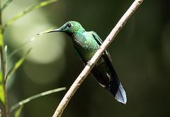 015A5785 Green-crowned Brilliant (suebmtl) Tags: bird birding ecuador pichinchaprovince hummingbird greencrownedbrilliant heliodoxajacula mindo