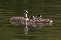 Great crested grebe (sean4646) Tags: d500 nikon birds avian nature wildlife reddishvale stockport cheshire tameside pond greatcrestedcrebe