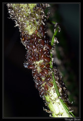 Brachycaudus tragopogonis on Tragopogon pratensis (cquintin) Tags: arthropoda homoptera aphididae brachycaudus tragopogonis macroinsectes