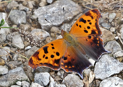 Question Mark (bellydanser) Tags: questionmark butterfly insect animal fauna wildlife outdoor nature naturephotography
